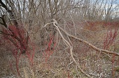 Leslie Spit, Early Spring (Tania A.) Tags: branches dogwood fallentree tangled earlyspring lesliespit