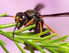 bicolor potter wasp on australian rice flower (piggsyface) Tags: macro wasp brisbane tokina raynox potterwasp raynoxdcr250 ozothamnus pseudabispabicolor australianriceflower bicolorpotterwasp