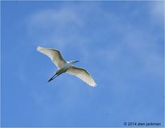 Snowy Egret, Everglades National Park (alan jackman) Tags: sky bird birds fly flying wings nikon florida snowy birding flight wetlands everglades birdsinflight egret nikion nikonnikon d7000 jackmanonjazz alanjackman