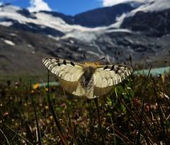 Hochalpenapollo (Parnassius phoebus) (Tim-Jäger) Tags: mountains alps butterfly falter apollo schmetterling hochalpenapollo