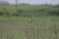 Long-tailed Shrike /  (Lanus schach) (a-giau) Tags: taiwan  changhua zhanghua laniusschach longtailedshrike jhanghua  7d2  fubaowetland fubowwetland 7dii 7dmarkii tamron150600mm