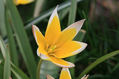 Yellow and White Flower Macro (hbickel) Tags: flower macro yellow canon pad photoaday macrolens canont6i