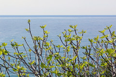 Fig tree (m-blacks) Tags: trees sea italy panorama tree green nature landscape coast seaside mediterranean italia mare fig branches liguria horizon border confine land figs rami ventimiglia fico bordighera