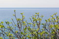 Fig tree (m-blacks) Tags: trees sea italy panorama tree green nature landscape coast seaside mediterranean italia mare fig branches liguria horizon border confine land figs rami ventimiglia fico bordighera