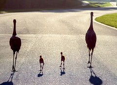 Suburban Florida sandhill cranes (MyFWC Research) Tags: bird florida crane melbourne avian sandhillcrane fwc floridasandhillcrane myfwc myfwccom