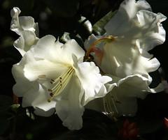 Palmengarten, Rhododendron (HEN-Magonza) Tags: nature deutschland flora hessen frankfurt natur rhododendron palmengarten gemany hesse