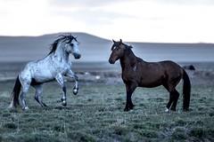 Mustang Stallion Conversation (raptor wack) Tags: nature wildlife mustang stallion wildhorse nikkor70200f28 wildutah steveplatt raptorwack raptorwackphotography nikond750