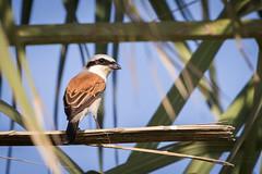 Red-backed shrike (alvinpurexphotography) Tags: bird corniche shrike khobar redbacked birdinksa