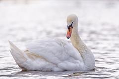 Mute Swan. (5300foto) Tags: sun holland bird nature water netherlands beautiful birds nice swan rotterdam nikon nederland natuur zwaan knobbelzwaan sigmasport d7000 150600 nikoneurope nikonnl
