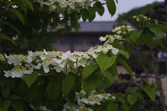 _DSC2021 (Osamu1965) Tags: flower japan zeiss garden spring sony contax jp   okayama     a7m2  carlzeissvariosonnart2870mmf3545mm