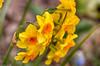 Narzissen (Christian Hoemke) Tags: flowers germany de deutschland saxony blumen sachsen hdr narcissus narzissen grimma canoneos70d hdrefexpro2 lightroom5 tamrondiii16300mm13563