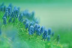 Blue Armeniacum (lfeng1014) Tags: macro closeup spring dof bokeh depthoffield macrophotography grapehyacinth lifeng canon5dmarkiii 70200mmf28lisii bluearmeniacum