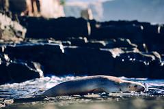 Jacks Bay, New Zealand - Sea Lion (Regan Gilder) Tags: ocean sea newzealand canon outdoors coast rocks outdoor wildlife relaxing rocky pacificocean seal coastline sealion catlins sunbathing jacksbay canoneos5dmarkiii jacksbayretreat