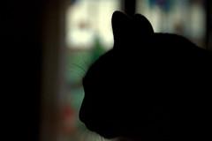 _DSC4292.NEF (Guido Giachetti) Tags: windows light cats house animal animals silhouette backlight cat natural indoor finestra mammals gatto gatti animali animale luce controluce sesto naturale fiorentino
