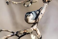 quabbinwinter2016-238 (gtxjimmy) Tags: winter bird water nikon massachusetts newengland valley hatch nut quabbin tamron foul supply ware belchertown quabbinreservoir d7100 150600mm nikond7100