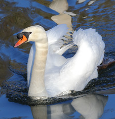 Mute swan (male) (badger2028) Tags: male swan cob cygnus olor