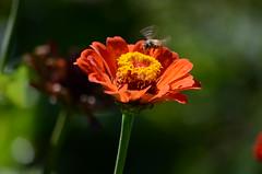 Bee in Flight (ugacostarica) Tags: nature costarica wildlife bee zinnia ugacr ugacostarica