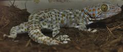 Tokay gecko (Gekko gecko) _DSC0118 (ikerekes81) Tags: washingtondc smithsonian dc washington nikon reptile national nationalzoo gecko kerekes ik istvan gekko rdc tokay nikond3200 tokaygecko dczoo gekkogecko smithsoniannationalzoologicalpark smithsoniannationalzoo d3200 washingtondczoo reptilediscoverycenter 18105mm sb700 istvankerekes reptilediscoverycenterzoonationalnational