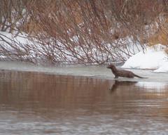IMG_8930 (lloydsjourney) Tags: birds wildlife newhampshire avian