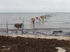 Seaweed drying in the wind (Landanna) Tags: sea seaweed beach nature strand denmark natur natuur zee dnemark danmark als tang denemarken snderjylland zeewier zuidjutland kbingsmark