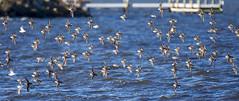 Dunlin-Parrish Park Titusville-1-29-16-1 (hudsonvalleybirder) Tags: dunlin