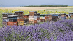 Usines à miel * (Titole) Tags: lavender sunflower provence lavande hive tournesol beehives ruches beeboxes plateaudevalensole friendlychallenges