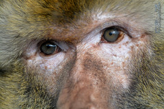 Regard (neku.chou) Tags: wild saint animal animals alpes zoo la nikon martin lyon expression oeil yeux animaux primate singe macaque rhone plaine sauvage regar neku captivit valkai d5200 animalphotographie valkaio nekuvalkaio captivir