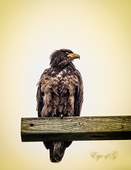 Young Eagle Surveying His Territory.jpg (Eye of G Photography) Tags: trees usa places fields northamerica washingtonstate telephonepole eagles skagitvalley skyclouds