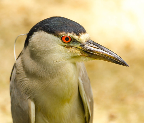Visita ao Zoológico de São Paulo, Brasil - Visit the Zoo Sao Paulo, Brazil - Black-crowned night heron (Nycticorax nycticorax)