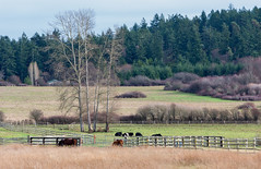 Good neighbors (Howard Ryder) Tags: horses washington nikon cows farmland nik sanjuanislands washingtonstate tamron sanjuanisland sanjuancounty d810 lrcc pscc ryderphotographic howardryder tamronsp7002000mmf28divcusd