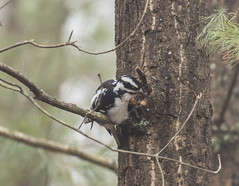 Industrious Woodpecker   1Z9A3869 (DCLbyrdnyrd) Tags: hairy female woodpecker pecking
