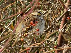 movement in the bushes (natureburbs) Tags: bird birding february whitethroatedsparrow dukeislandpark newjerseynature birdsinnewjersey