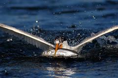Coming Out! (bmse) Tags: fish canon fishing chica l elegant f56 bolsa tern salah 400mm wingsinmotion 7d2 bmse baazizi