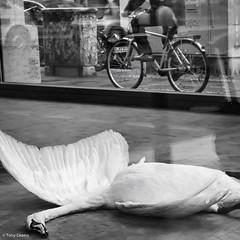 Swan (TonyCearns) Tags: street leica bw tension m9 darkstreet