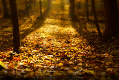Autumn Light (Tim Allendrfer) Tags: autumn light shadow color tree fall nature yellow forest leaf woods warm mood dof trunk