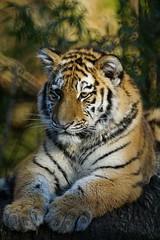 Tg Nbg    Sib.Tiger 6 Monate alt       160129 (Eddy L.) Tags: portrait tiger nuremberg siberiantiger pantheratigrisaltaica amurtiger aljoscha sibirischertiger volodya tiergartennrnberg tigredesibrie 6monatealt ussuritiger sonyphotographing minoltaafreflex500 sonyflickraward tiergartenfreundenrnbergev