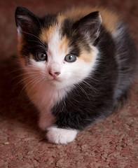 posando (Juan Barra Photography) Tags: portrait pet animal cat kitten retrato kitty gato gata mascota gatita gatito