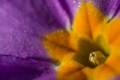 201503MOMO-DSC_1519-4 (xcyclopex) Tags: macro fleur couleurs