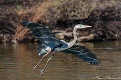 Rubino Great Blue Heron in flight reflection 20160207 Santee Lakes CA 688-2 (Ryan Rubino) Tags: blue reflection heron great flight ardea herodias