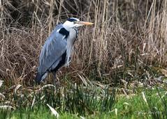 De blauwe reiger (Ardea cinerea) (vion_jurgen) Tags: heron ardea reiger cinerea