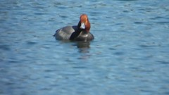 Redhead journey, Bethany Lakes Park, Allen, Texas, February 2016 (gurdonark) Tags: park bird birds swimming duck texas allen wildlife lakes bethany redhead