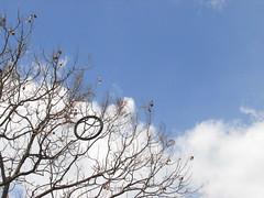 Llanta vieja de bicicleta, atorada en una jacaranda. (Juan Xic Eseyosoyese) Tags: las en como familia méxico de se la américa árboles y o vieja bicicleta un cielo nubes árbol una es jacaranda 50 unas subtropical aire libre jacarandá ramas llanta arbustos especies típicos enredada género gualanday conoce desuso tarco encestada intertropical bignoniáceas vulgarmente