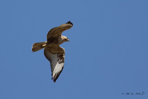 Long-legged buzzard - עקב עיטי