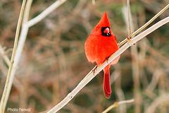 cardinal rouge (photolenvol) Tags: cardinal animaux oiseau