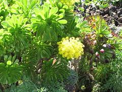 starr-110201-0527-Aeonium_arboreum-flowering_habit-Keokea-Maui (Starr Environmental) Tags: aeoniumarboreum
