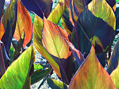 Canna Leaves! ('cosmicgirl1960' NEW CANON CAMERA) Tags: flowers nature gardens spain parks espana costadelsol andalusia estepona yabbadabbadoo worldflowers