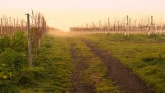 ground fog (Che Camera) Tags: nature landscape vineyard wine natur landschaft kaiserstuhl weinberg bischoffingen vogtsburg sonyalpha7 teamsony mdrokkor3528 ilce7