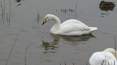 Whooper swan (hedgehoggarden1) Tags: uk bird nature water birds swan wildlife norfolk wwt eastanglia wildfowl welney whooperswan canonpowershotsx50hs