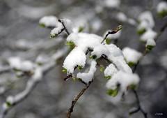 Vervierfontaine 23 mars 08_7 mod et rét (vincent.lempereur) Tags: snow tree neige arbre forêt bois bourgeons arbustre