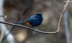 Indian Robin (pavankoduru) Tags: nikon birding naturephotography naturelovers birdphotography birdonperch sigma150500 nikond3300 nallamallaforest